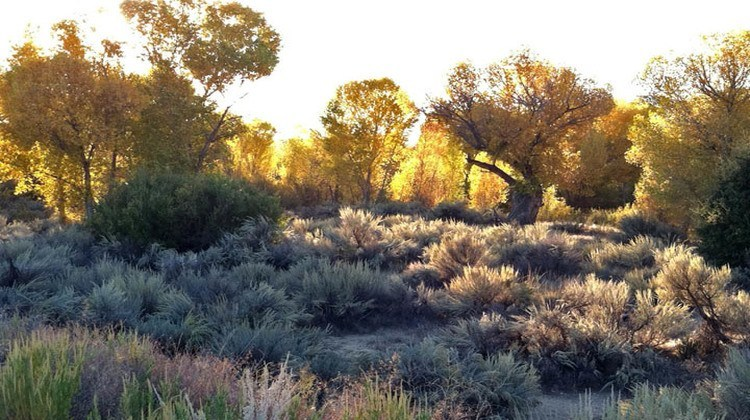 Great Basin Sage and Cottonwood